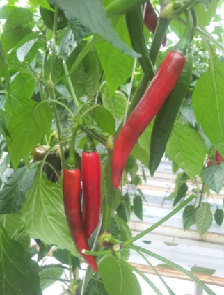 Pimiento picante Cayenne Akira Seeds