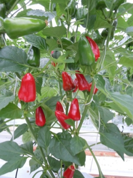 Pimiento picante Akira Seeds