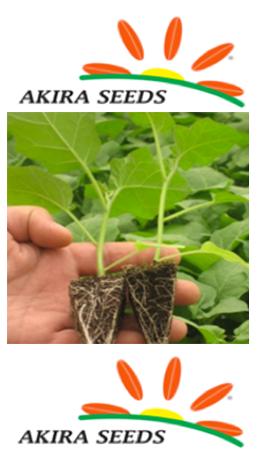 Berenjena porta injertos Akira Seeds