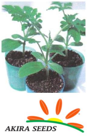 Lagenaria porta-injertos Akira Seeds