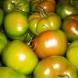 Tomates indeterminados calibre grueso